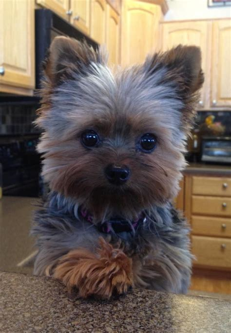 yorkie puppy cut 17 best ideas about terrier puppies on terriers