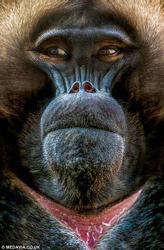 jambo  baldhairless chocolate chimpanzee pan troglodytes animal primate  monkey