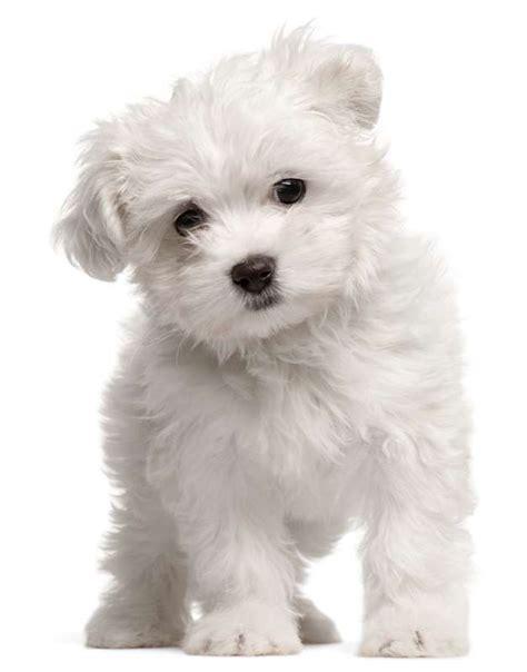 cani appartamento piccola taglia speciale moda donna primavera estate cani piccola taglia