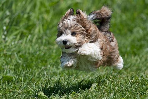 flying puppies 30 cutest pictures of havanese puppies best photography landscapes and animal