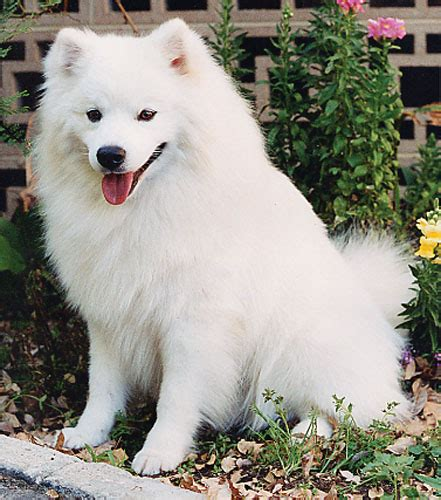 eskimo spitz puppy american eskimo breed remarkable dogs