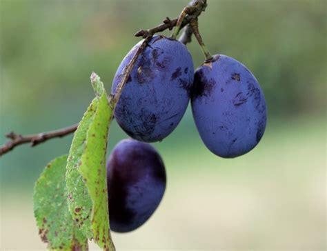 prunes diff 233 rentes vari 233 t 233 s et utilisations en cuisine