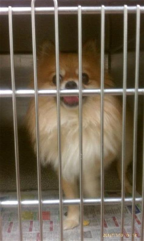 pomeranian animal shelter found gold pomeranian is at animal shelter michigan humane society