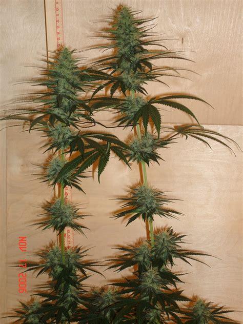 Cannabis Flower by Marijuana Flowering Stage Flowering Phase Of Cannabis