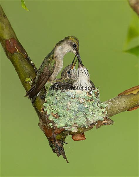 ruby throated hummingbird nest flickr photo sharing