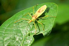 assassin bug tattoo leafhopper id color varies see other leafhopper entry