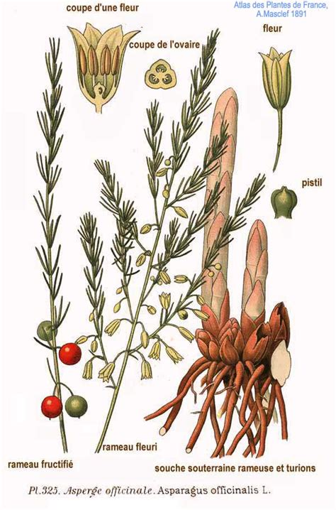 What Is A L by File 325 Asparagus Officinalis L Jpg Wikimedia Commons