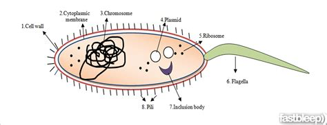 diagram of bacterial cell structure bacterial cell structure and function fastbleep