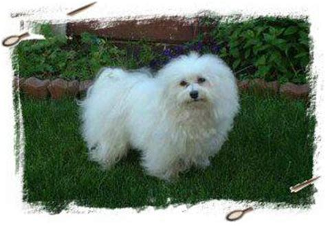 havanese hair pictures of havanese haircuts breeds picture