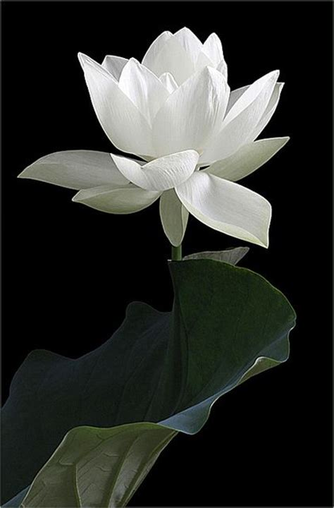 fall of the white lotus 25 best ideas about lotus flower buddhism on