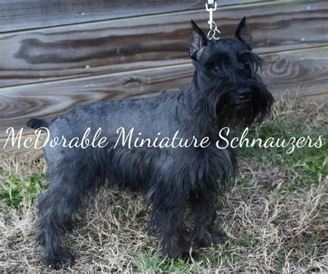schnauzer puppies for sale in alabama mcdorable miniature schnauzers miniature schnauzer breeder hartselle alabama