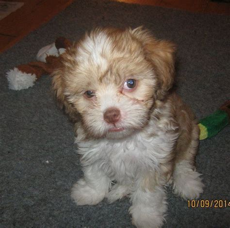 crested shih tzu mix crested shih tzu mix breeds picture