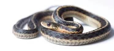 Garter Snake For Pet Garter Snake Care Housing Feeding And Caring For Garter