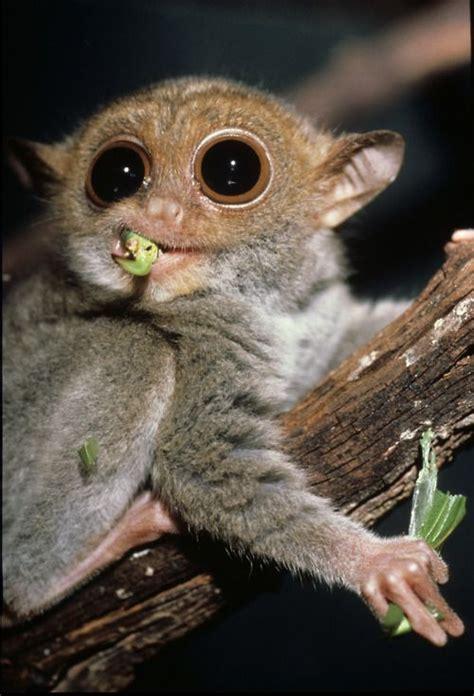 philippine tarsier  mawmag   species  tarsier