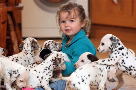 Dalmantion Family spot of for family with 15 dalmatian puppies wales