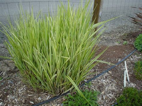 Ornamental Grasses For Planters by Ornamental Grasses Clumping Plants