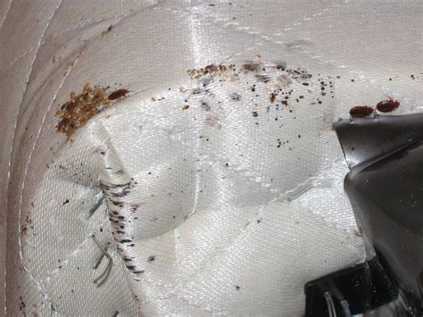 bed bugs on matress bed bug inspection control company winchester and front royal virginia best