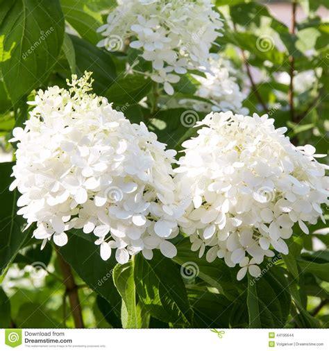 cespuglio con fiori bianchi rami cespuglio dell ortensia con i fiori bianchi