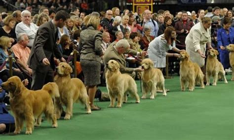 golden retriever convention what to expect at a golden retriever show golden retriever
