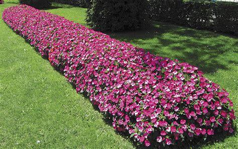 sunpatiens colors alternatives to impatiens impatiens walleriana