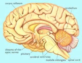 Main parts of human brain lateral view