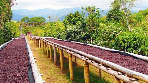 tahap penjemuran biji kopi mempengaruhi karakter rasa benarkah majalah otten coffee