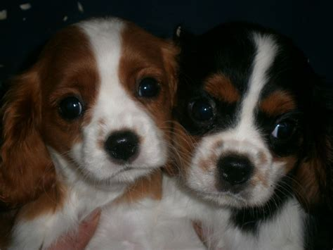 king charles puppies for sale cavalier king charles puppies for sale llandeilo carmarthenshire pets4homes