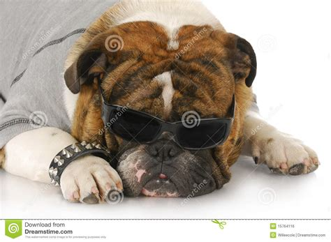 cool looking dogs cool looking stock photo image of bulldog 15764116