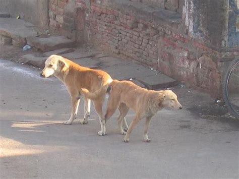 dogs stuck together two dogs stuck together