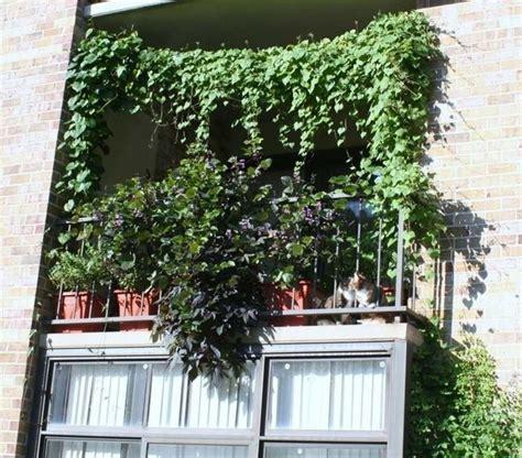 come curare il gelsomino in vaso ricanti da balcone piante appartamento pianta