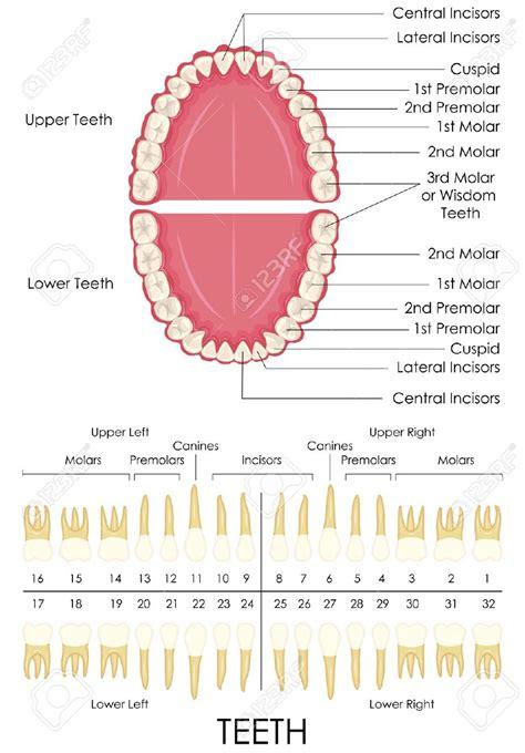 teeth layout and names teeth diagram with names anatomy organ