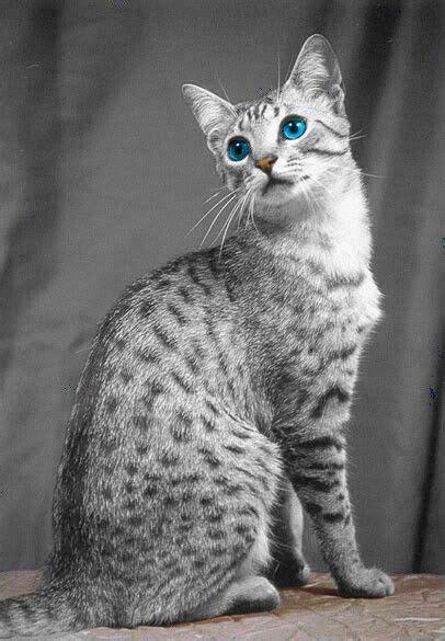 Egyptian mau cat   Cats   Pinterest