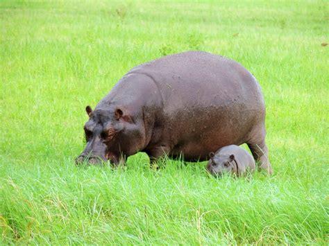 eats grass hippopotamus grass