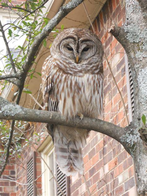 owl tree owl tree owls rock