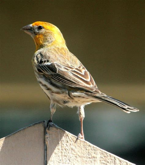 yellow house finch 17 best images about north texas birds on pinterest herons finches and patio