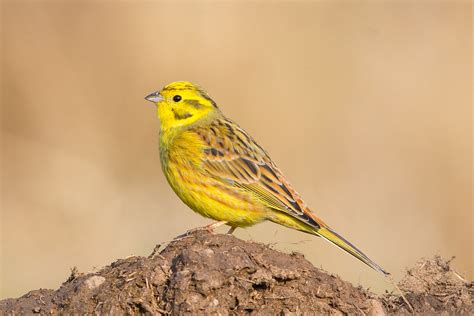 avian l for birds image gallery yellowhammer bird