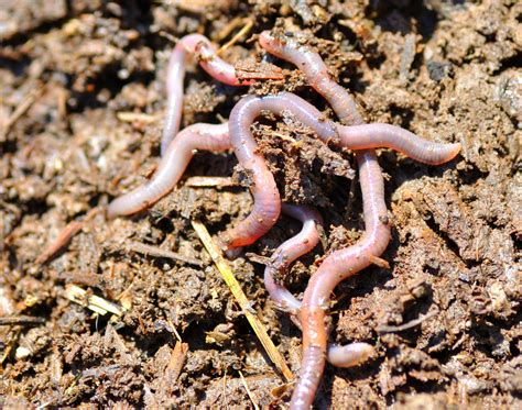 worms in worm farm series part one the benefits of a worm farm growing and gathering