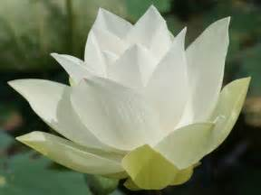 White Lotus Flower Lotus Flower Wallpaper Hd Wallpaper White Lotus Flower