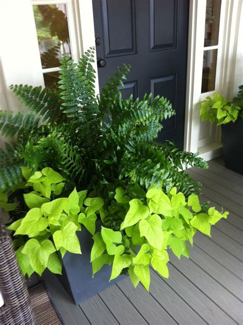 best 25 potato vines ideas on