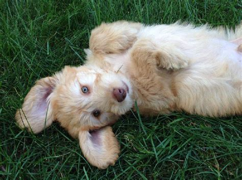 goldendoodle puppy phases goldendoodle puppies for salegoldendoodle puppies for sale