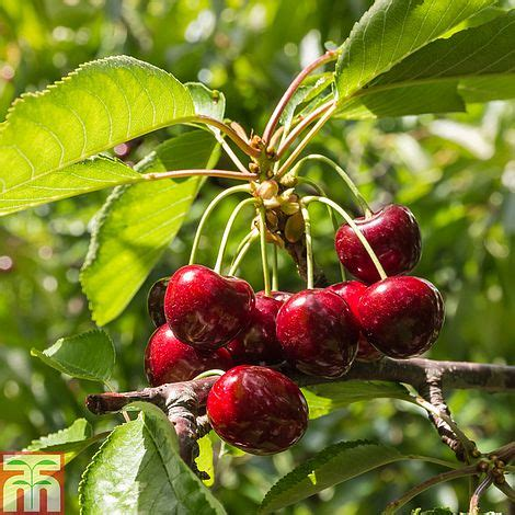 cherry sylvia mini fruit tree plants thompson