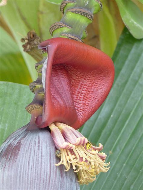 fiori di banano fiore di banano il rimedio naturale per asma tosse e