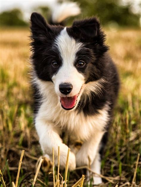 eek so adorable i want a little mixed girl collie border collies and border collie puppies on pinterest