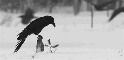 gif gifs quote birds black bird animated gif raven wings
