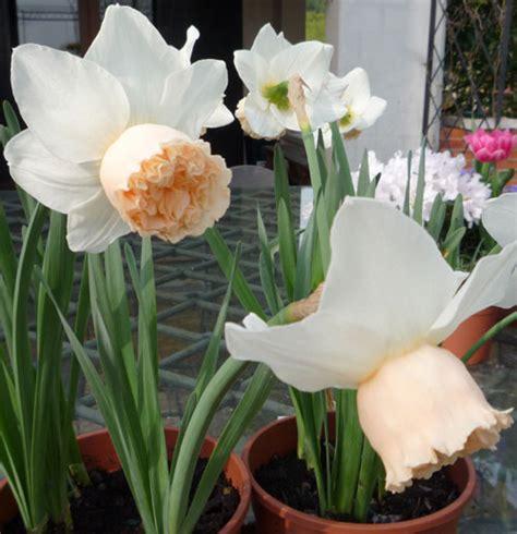fiori da giardino autunnali narcisi autunnali fiore da balcone