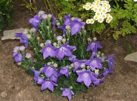 Balon Flower purple balloon flower jpg 1 comment