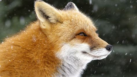 the man red fox 009910881x fox tales full episode nature pbs