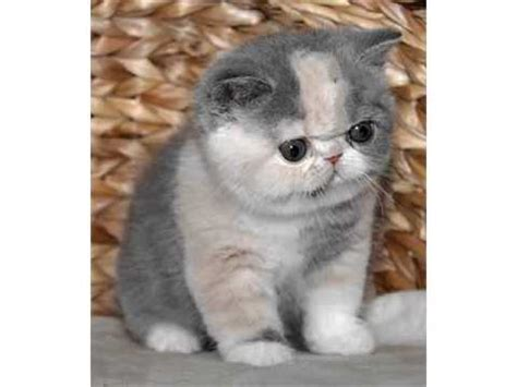 Exotic Shorthair   Cat Pictures   YouTube