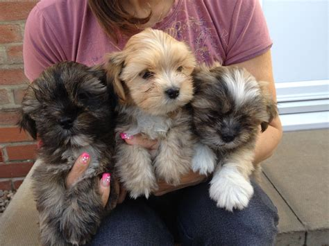 lhasa puppies lhasa apso puppies for sale selby pets4homes