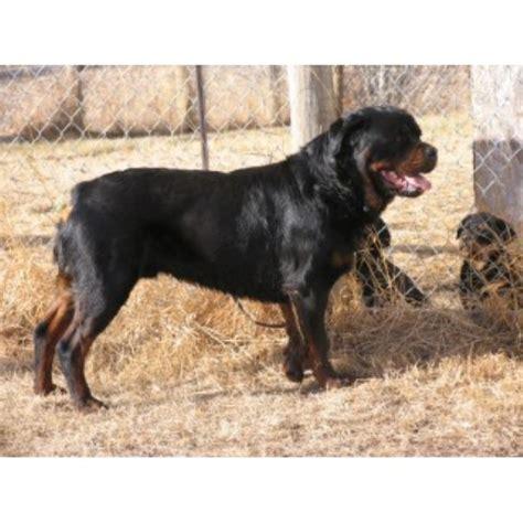 ckc rottweiler breeders ontario rshardy kennels rottweiler breeder in kikino alberta listing id 22566